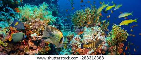 Tropical Anthias fish with net fire corals on Red Sea reef underwater #288316388