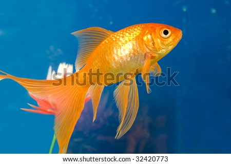 Tropical aquarium fish in blue water