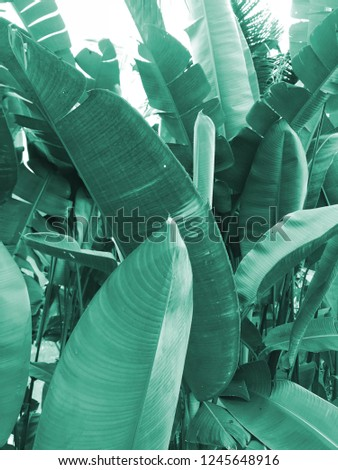 tropical background/banana leaves  - Shutterstock ID 1245648916