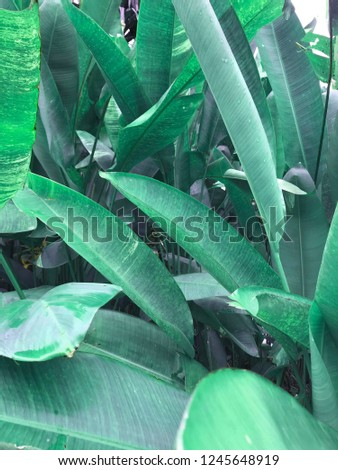 tropical background/banana leaves  - Shutterstock ID 1245648919