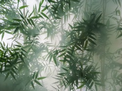 tropical bamboo trees behind the frosted glass in the fog with backlighting. decoration of green plants premises, background. the natural exotic design.