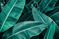 tropical banana foliage texture, large palm leaf nature background