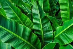 tropical banana leaf , green background