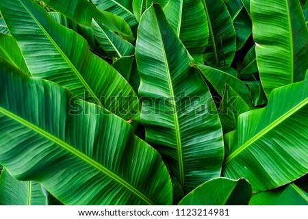 tropical banana leaf , green background #1123214981