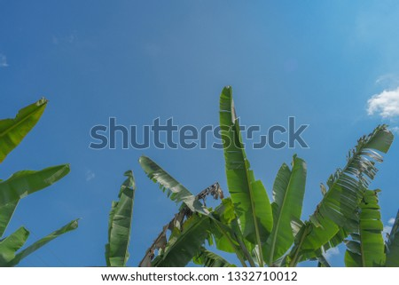 tropical banana leaf in the background without the blue sky #1332710012