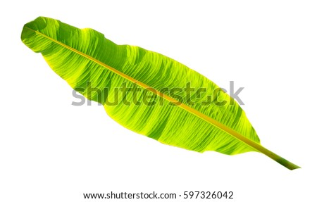 tropical banana leaf isolated on white background - Shutterstock ID 597326042