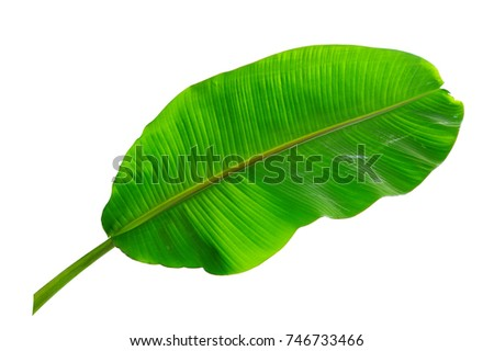 tropical banana leaf isolated on white background - Shutterstock ID 746733466