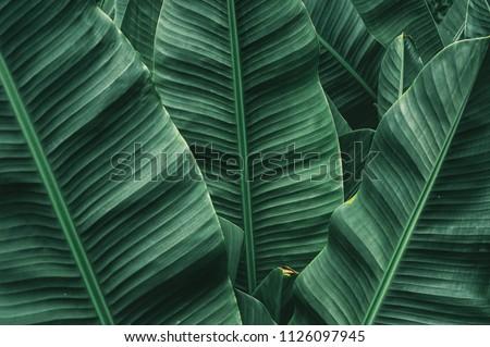 tropical banana leaf texture , dark green background , vintage tone #1126097945