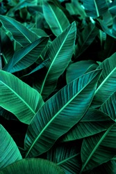 tropical banana leaf texture in garden, abstract green leaf, large palm foliage nature dark green background