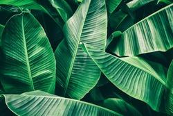 tropical banana leaf texture, large foliage nature background