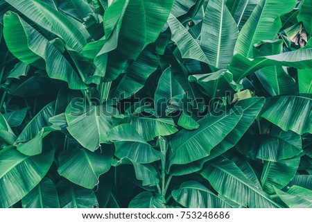 tropical banana leaf texture, large palm foliage natural dark green background