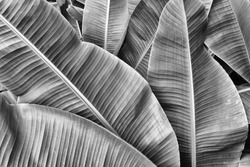 tropical banana leaf texture, large palm foliage nature background, black and white tone