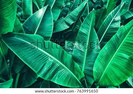 tropical banana leaf texture, large palm foliage nature dark green background #763991650