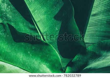 tropical banana leaf texture, large palm foliage nature dark green background #782032789