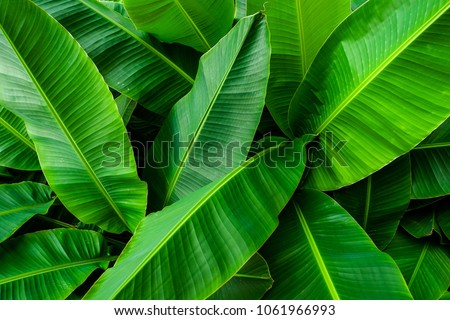 Tropical banana leaves,Abstract texture line from nature,Green background #1061966993