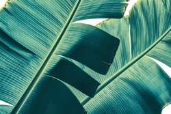 tropical banana palm leaf isolated on white background with clipping path, sunlight from back, blue toned