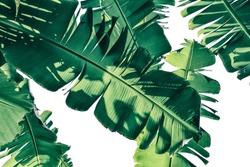 tropical banana palm leaf on white background