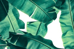 tropical banana palm leaf texture for background, sunlight from back, blue toned