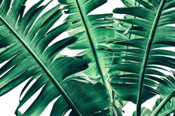 tropical banana palm leaf texture, large foliage, dark green toned, nature background
