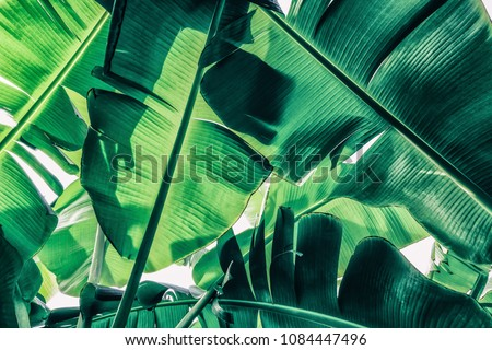 tropical banana palm leaves, low angle view, sunlight from back, blue toned