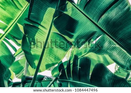 tropical banana palm leaves ...