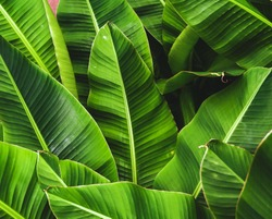 tropical banana palm leaves texture , dark green background