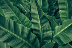 tropical banana palm leaves texture green background