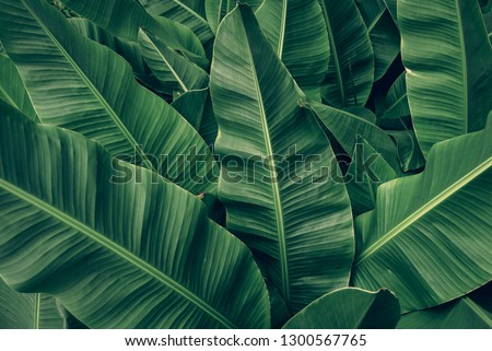 tropical banana palm leaves texture green background #1300567765
