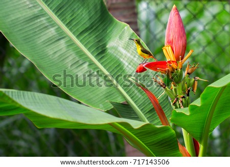 Tropical bird on banana flower. Olive-back sunbird female on exotic plant. Exotic nature photo for wallpaper or background. Small yellow bird with blue chest. Nectar drinking bird. Tropical fauna #717143506