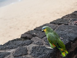 Tropical bird parrot standing on a wall surrounding a sandy beach, copy space for text. Vacation concept.