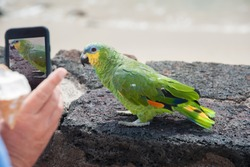 Tropical bird parrot standing on a wall surrounding a sandy beach, posing for a photo. Hand of a man holding a mobile phone, making a close up photo of the parrot.