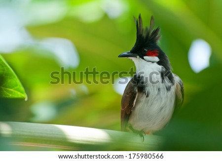 Stock Photo Tropical bird red-whiskered bulbul sitting on a papaya branch in Nepal.