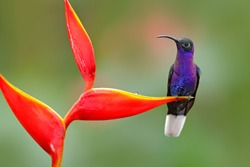 Tropical bird with red flower. Hummingbird from Costa Rica in tropical forest. Big blue bird Violet Sabrewing with blurred green background.
