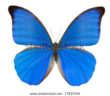 tropical blue butterfly isolated on white background - stock photo