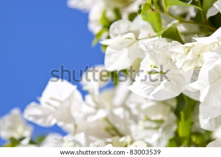 tropical bougainvillea white flowers on a background blue sky