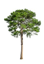 Tropical bush shrub pine tree isolated on white background. This has a clipping path