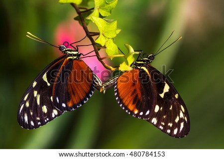 Tropical butterflies dido longwing on the leaf. Macro photografie of wildlife.