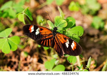 Tropical butterfly dido longwing on the green leaf.