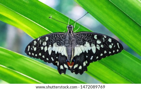 Tropical butterfly on green leaf, closeup photo. Black and white butterfly on palm leaf. Tropical insect macrophoto. Exotic butterfly with white dots ornament on wings. South Asia tropic rainforest