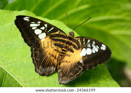 tropical butterfly Parthenos sylvia on green leaves