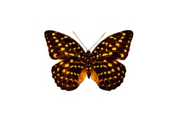 tropical butterfly with yellow spots isolated on white background