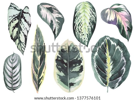 Tropical calathea leaves. Watercolor on white background. Isolated elements for design.