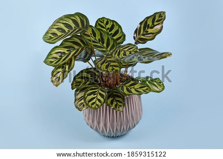 Tropical 'Calathea Makoyana' Prayer Plant houseplant with beautiful exotic pattern in gray flower pot on blue background Foto d'archivio ©