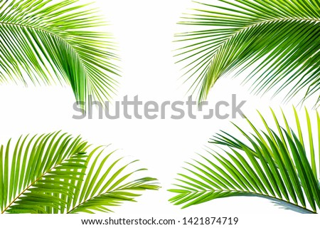 tropical coconut leaf isolated on white background, summer background #1421874719