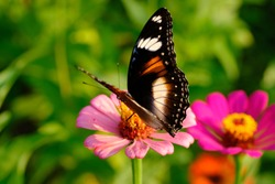 tropical colorful butterflies perch on Zinnia violet flowers to suck honey. a butterfly is an insect that experiences metamorphosis. Zinnia flowers easily grow anywhere. macro photography.
