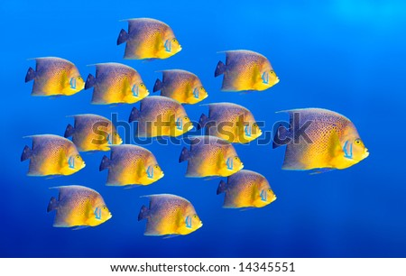 Tropical coral fish angelfish isolated on white