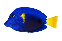 Tropical coral fish Purple tang ,yellowtail tang (Zebrasoma xanthurum) isolated on white background