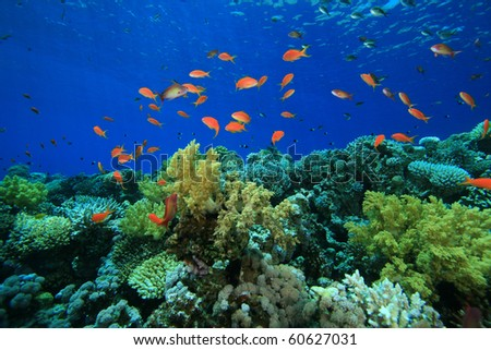 Tropical Coral Reef and Lyretail Anthia Fish