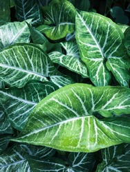 Tropical dark green leave background