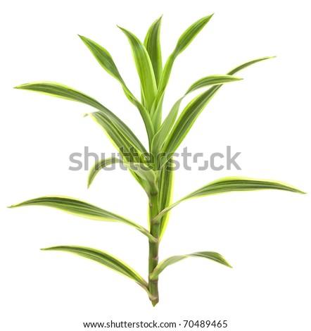 Tropical Dracaena Plant Isolated on White